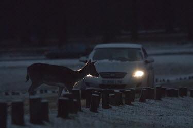 Fallow deer crossing the road near car in Richmond Park, London. Dama dama,Park,animal,britain,car,congestion,crossing,danger,deer,fallow,headlight,london,mammal,nature,richmond,road,snow,traffic,urban,wildlife,winter,Even-toed Ungulates,Artiodactyla,Cervidae,Deer,