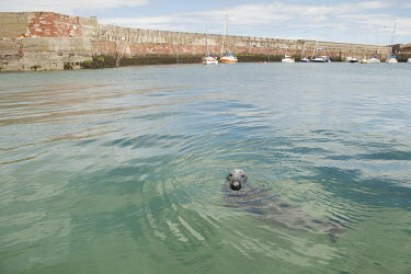 Grey seal swimming in harbour, Donna Nook National Nature Reserve, Lincolnshire, UK animal,beach,britain,coast,grey,mammal,national,nature,reserve,sand,wildlife,Mammalia,Mammals,Carnivores,Carnivora,Phocidae,True Seals,Chordates,Chordata,Coastal,Terrestrial,Animalia,Least Concern,Hal