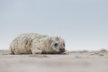 Grey seal pup on beach, Donna Nook National Nature Reserve, Lincolnshire, UK animal,baby,beach,bird,britain,cute,grey,nature,pup,seal,uk,wildlife,winter,young,Mammalia,Mammals,Carnivores,Carnivora,Phocidae,True Seals,Chordates,Chordata,Coastal,Terrestrial,Animalia,Least Concer