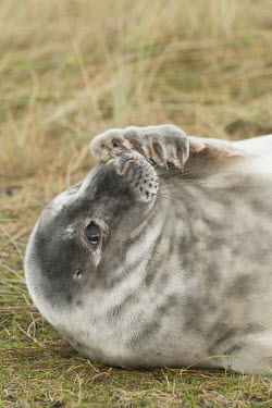 Portrait of grey seal pup scratching face with flipper, Donna Nook National Nature Reserve, Lincolnshire, UK. animal,beach,britain,coast,cuddly,cute,donna,dunes,grey,mammal,national,nature,playful,pup,reserve,sand,seal,wildlife,Mammalia,Mammals,Carnivores,Carnivora,Phocidae,True Seals,Chordates,Chordata,Coast