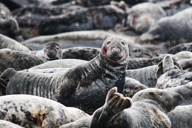 Group of grey seals, Farne Islands, Northumberland, UK animal,breeding,britain,british,coast,coastal,grey,islands,marine,nature,nesting,seal,spring,wildlife,Mammalia,Mammals,Carnivores,Carnivora,Phocidae,True Seals,Chordates,Chordata,Coastal,Terrestrial,A