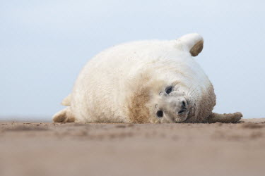 Grey seal lying on sandy beach animal,beach,britain,coast,donnamammal,national,nature,reserve,sand,seal,wildlife,Mammalia,Mammals,Carnivores,Carnivora,Phocidae,True Seals,Chordates,Chordata,Coastal,Terrestrial,Animalia,Least Concer