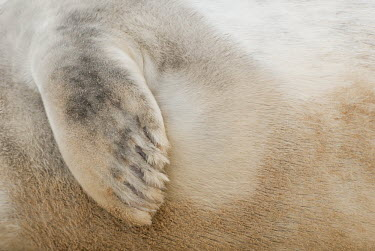 Grey seal pup flipper detail animal,flipper,grey,mammal,national,nature,pup,reserve,sand,seal,texture,wildlife,Mammalia,Mammals,Carnivores,Carnivora,Phocidae,True Seals,Chordates,Chordata,Coastal,Terrestrial,Animalia,Least Concer