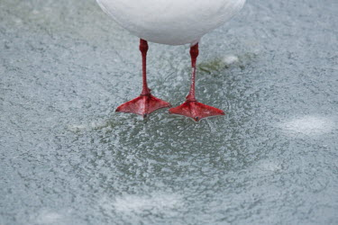 Feet of black-headed gull feet on frozen lake, Kew Gardens, London. animal,bird,black,britain,cold,comical,feet,freezing,frost,funny,gull,headed,ice,lake,nature,quirky,red,snow,wildlife,winter,Laridae,Gulls, Terns,Aves,Birds,Ciconiiformes,Herons Ibises Storks and Vult