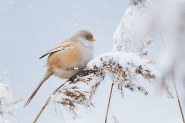 Female bearded parrotbill perched in snow, Hyde Park, London, UK bird,cold,female,nature,rare,snow,snowing,tit,urban,white,wildlife,winter,Omnivorous,Fresh water,Temperate,Flying,Panurus,Europe,Ponds and lakes,Terrestrial,Grassland,Wetlands,IUCN Red List,Timaliidae