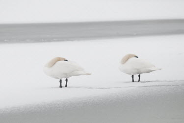 Pair of mute swans resting on frozen lake Park,animal,animals,bird,birds,britain,british,christmas,couple,cygnus,frost,frozen,lake,love,morning,mute,nature,ponds,snow,swans,uk,urban,white,wildlife,winter,Aves,Birds,Chordates,Chordata,Waterfow