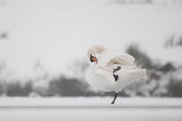 Mute swan preening Park,animal,animals,bird,birds,britain,british,christmas,couple,cygnus,deer,england,english,february,frost,frozen,lake,london,love,morning,mute,nature,olor,pen,ponds,richmond,snow,swans,uk,urban,white