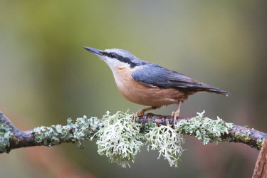 Eurasian nuthatch perched on branch animal,autumn,bird,britain,copse,lichen,nature,november,nuthatch,perched,private,scrag,wildlife,woodland,Sitta europaea,england,eurasian,sussex,uk,west