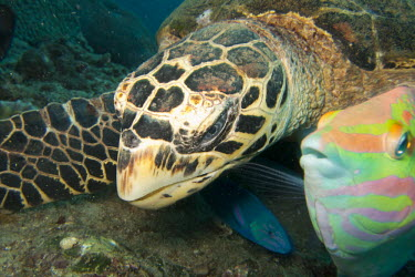 Hawksbill turtle feeding with wrasses animal,colour,coral,endangered,feeding,marine,nature,reef,reptile,tropical,turtle,wildlife,wrasse,Eretmochelys,Animalia,imbricata,Testudines,Carnivorous,Coral reef,Cheloniidae,Terrestrial,Reptilia,App