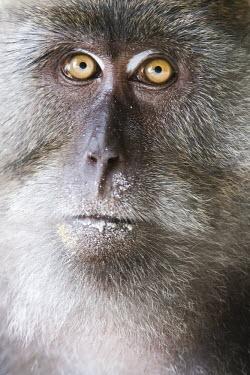 Crab-eating macaque portrait Macaca,animal,asia,beach,cheeky,clever,crab,eating,exotic,fascicularis,foraging,koh,litter,long,macaque,mammal,monkey,nature,october,phi,primate,rowley,rubbish,sam,tailed,thailand,tropical,wildlife,Ma
