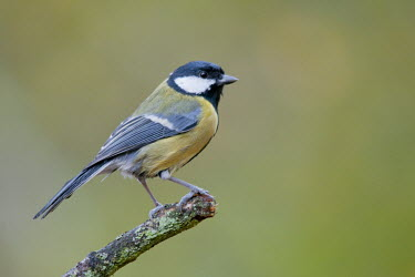 Great tit perched on branch animal,autumn,bird,branch,britain,copse,great,nature,november,perched,scrag,tit,wildlife,woodland,Asia,Omnivorous,Animalia,Urban,Parus,Paridae,Flying,Aves,Temperate,Common,Europe,Chordata,major,Passer