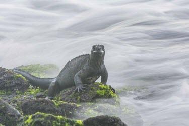 Galapagos marine iguana sitting on rocks algae,animal,archipelago,endemic,evolution,galapagos,iguana,island,islands,marine,native,natural,nature,ocean,pacific,summer,wildlife,Squamata,Lizards and Snakes,Iguanidae,Chordates,Chordata,Reptilia,