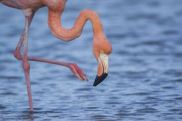 Caribbean flamingo walking in lagoon america,american flamingo,animal,bird,conservation,endemic,evolution,flamingo,galapagos,island,islands,native,natural,nature,ocean,pacific,south,summer,tortoise,wildlife,Ciconiiformes,Herons Ibises St