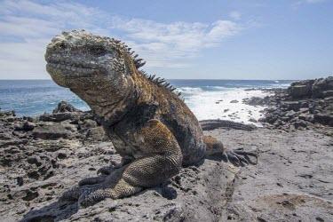 Galapagos marine iguana at coastline amblyrhynchus,america,animal,archipelago,august,charles,coast,conservation,cristatus,darwin,ecuador,endemic,evolution,galapagos,iguana,island,islands,lobos,marine,native,natural,nature,ocean,pacific,p