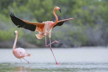 Caribbean flamingo landing in lagoon action,america,american,caribbean,colour,endemic,evolution,flight,galapagos,island,islands,lagoon,landing,natural,nature,pacific,pink,selection,south,summer,wildlife,Ciconiiformes,Herons Ibises Storks