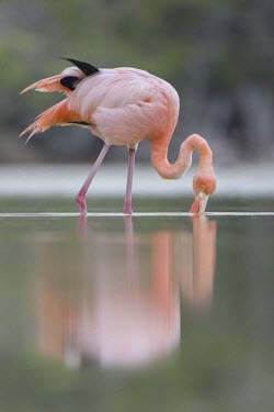 Caribbean flamingo in lagoon caribbean,colour,endemic,island,islands,lagoon,natural,nature,pacific,pink,selection,south,summer,wildlife,Ciconiiformes,Herons Ibises Storks and Vultures,Aves,Birds,Phoenicopteridae,Flamingos,Chordat