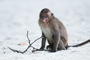 Crab-eating macaque ^smiling^ animal,baby,beach,cheeky,clever,crab,eating,exotic,foraging,litter,long,macaque,mammal,monkey,nature,primate,rubbish,smiling,tailed,tropical,wildlife,Mammalia,Mammals,Chordates,Chordata,Primates,Old W