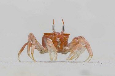 Ghost crab on Las Bachas beach, Galapagos Islands, Ecuador animal,archipelago,beach,island,islands,native,natural,nature,ocean,pacific,santa,selection,south,summer,wildlife,Ocypode,america,august,charles,conservation,crab,cruz,darwin,ecuador,endemic,evolution