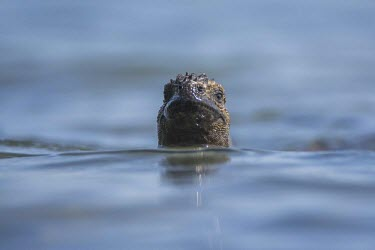 Galapagos marine iguana swimming with head above surface animal,archipelago,coast,endemic,evolution,iguana,island,islands,marine,native,natural,nature,ocean,pacific,shore,south,summer,wildlife,portrait,head detail,mouth,Squamata,Lizards and Snakes,Iguanidae