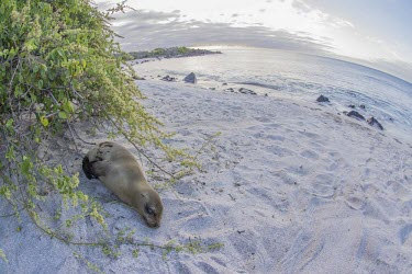 Galapagos sea lion resting on beach archipelago,beach,endemic,evolution,island,islands,native,natural,nature,ocean,pacific,sea,selection,south,summer,wildlife,quirky,funny,low angle,Carnivores,Carnivora,Otariidae,Eared Seals,Chordates,C