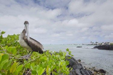Brown pelican in landscape bird,brown,evolution,galapagos,july,mangrove,mangroves,natural,nature,pacific,pelican,south,summer,urban,wildlife,Ciconiiformes,Herons Ibises Storks and Vultures,Aves,Birds,Chordates,Chordata,Pelecani