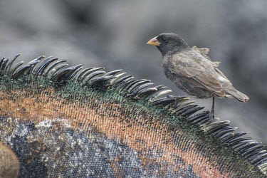 Medium ground-finch on back of Galapagos marine iguana animal,archipelago,endemic,evolution,finch,iguana,island,islands,marine,native,natural,nature,ocean,pacific,interspecific,South America,Herbivorous,Animalia,Passeriformes,Flying,Emberizidae,Agricultur