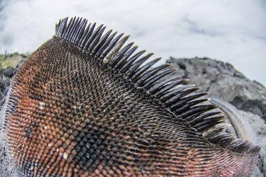 Close up of Galapagos marine iguana back animal,archipelago,coast,endemic,evolution,iguana,island,islands,marine,native,natural,nature,ocean,pacific,shore,south,summer,wildlife,Squamata,Lizards and Snakes,Iguanidae,Chordates,Chordata,Reptili