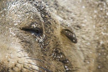 Galapagos sea lion head detail beach,endemic,evolution,island,islands,native,natural,nature,ocean,pacific,sea,selection,south,summer,wildlife,Carnivores,Carnivora,Otariidae,Eared Seals,Chordates,Chordata,Mammalia,Mammals,wollebaeki