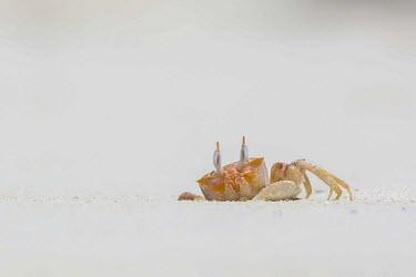 Ghost crab on Las Bachas beach, Galapagos Islands, Ecuador Ocypode,america,animal,archipelago,august,beach,charles,conservation,crab,cruz,darwin,ecuador,endemic,evolution,galapagos,gaudichaudii,ghost,island,islands,native,natural,nature,ocean,pacific,rowley,s