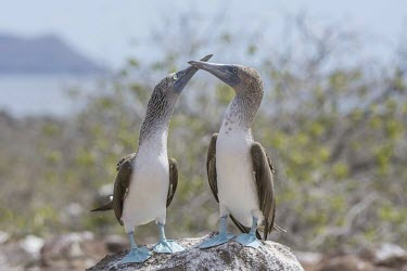 Blue footed booby, Sula nebouxii, North Seymour, Galapagos, Ecuador, August. america,animal,archipelago,blue,endemic,evolution,foot,feet,island,islands,native,natural,nature,north,ocean,pacific,summer,wildlife,Chordates,Chordata,Aves,Birds,Gannets and Boobies,Sulidae,Ciconiifo