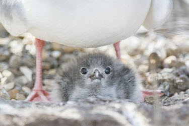 Swallow-tailed gull chick inbetween parents legs animal,archipelago,endemic,evolution,island,islands,native,natural,nature,north,ocean,pacific,summer,wildlife,Laridae,Gulls, Terns,Aves,Birds,Ciconiiformes,Herons Ibises Storks and Vultures,Chordates,