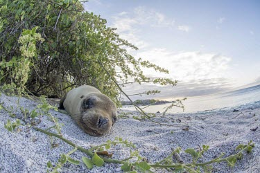 Galapagos sea lion lying on beach archipelago,beach,endemic,evolution,island,islands,native,natural,nature,ocean,pacific,sea,selection,south,summer,wildlife,quirky,funny,low angle,Carnivores,Carnivora,Otariidae,Eared Seals,Chordates,C