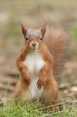 Red squirrel standing on hind legs animal,britain,british,cute,hide,native,nature,north,squirrel,summer,wildlife,Chordates,Chordata,Squirrels, Chipmunks, Marmots, Prairie Dogs,Sciuridae,Rodents,Rodentia,Mammalia,Mammals,Broadleaved,Eur