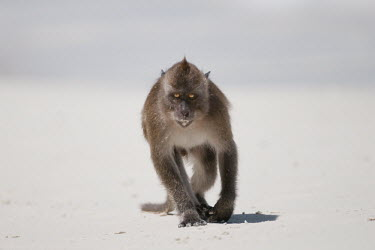 Crab-eating macaque walking on sand, foraging beach,cheeky,clever,crab,eating,exotic,foraging,litter,macaque,mammal,monkey,nature,october,primate,tropical,wildlife,Mammalia,Mammals,Chordates,Chordata,Primates,Old World Monkeys,Cercopithecidae,Con