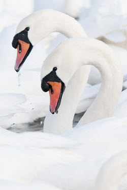 Mute swans feeding animal,arch,autumn,beach,beauty,bird,britain,curves,feeding,nature,shape,spray,swan,swannery,swans,uk,waterfowl,white,wildfowl,wildlife,symmetry,Aves,Birds,Chordates,Chordata,Waterfowl,Anseriformes,Du