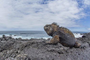 Galapagos marine iguana, on rock, looking out to sea animal,archipelago,coast,endemic,evolution,iguana,island,islands,marine,native,natural,nature,ocean,pacific,shore,south,summer,wildlife,Squamata,Lizards and Snakes,Iguanidae,Chordates,Chordata,Reptili