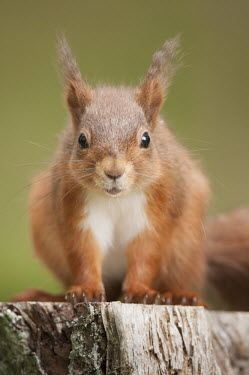 Red squirrel portrait, Northumberland, England Sciurus,animal,britain,british,cute,england,hide,june,native,nature,north,northumberland,red,squirrel,summer,uk,vulgaris,wildlife,Chordates,Chordata,Squirrels, Chipmunks, Marmots, Prairie Dogs,Sciurid