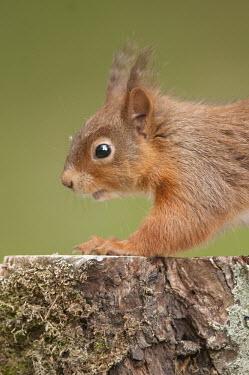 Red squirrel, side portrait, Northumberland, England Sciurus,animal,britain,british,cute,england,hide,june,native,nature,north,northumberland,red,squirrel,summer,uk,vulgaris,wildlife,Chordates,Chordata,Squirrels, Chipmunks, Marmots, Prairie Dogs,Sciurid