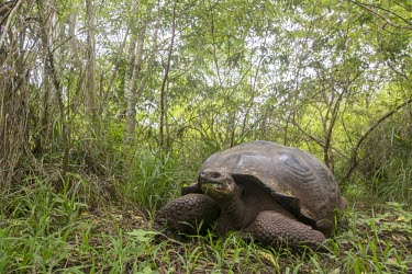 Galapagos tortoise in vegetation, Santa Cruz, Galapagos, Ecuador animal,archipelago,darwin,endemic,evolution,island,islands,native,natural,nature,ocean,summer,wildlife,Reptilia,Reptiles,Chordates,Chordata,Turtles,Testudines,Tortoises,Testudinidae,Appendix I,Herbivo