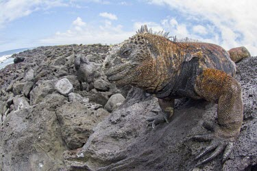 Close up of Galapagos marine iguana animal,archipelago,coast,endemic,evolution,iguana,island,islands,marine,native,natural,nature,ocean,pacific,shore,south,summer,wildlife,Squamata,Lizards and Snakes,Iguanidae,Chordates,Chordata,Reptili