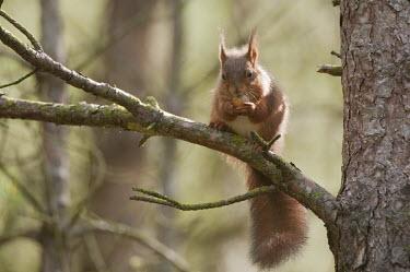 Red squirrel feeding animal,britain,british,cute,feeding,native,nature,northsummer,wildlife,Chordates,Chordata,Squirrels, Chipmunks, Marmots, Prairie Dogs,Sciuridae,Rodents,Rodentia,Mammalia,Mammals,Broadleaved,Europe,Sci