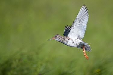 Common redshank in flight animal,bird,birds,britain,british,common,marsh,marshes,nature,wetland,wildlife,flight,flying,Sandpipers, Phalaropes,Scolopacidae,Chordates,Chordata,Ciconiiformes,Herons Ibises Storks and Vultures,Aves