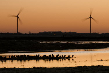 Eurasian curlews, silhouetted at dawn, Isle of Sheppey bird,british,coastal,curlew,curlews,dawn,humans,impactmarshes,nature,rsilhouette,turbines,urban,wader,wildfowl,wildlife,wind,winter,Charadriiformes,Shorebirds and Terns,Chordates,Chordata,Sandpipers,