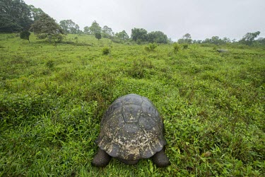 Galapagos giant tortoise in habitat animal,archipelago,darwin,endemic,evolution,island,islands,native,natural,nature,ocean,summer,wildlife,Reptilia,Reptiles,Chordates,Chordata,Turtles,Testudines,Tortoises,Testudinidae,Appendix I,Herbivo