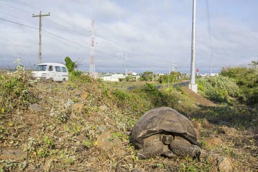 Galapagos giant tortoise next to road animal,archipelago,charles,conservation,cruz,darwin,endemic,evolution,highland,highlands,island,islands,native,natural,nature,ocean,pacific,selection,south,steve,summer,tortoise,wildlife,road,humans,R