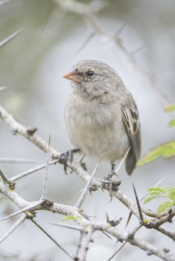 Small ground finch perched on branch animal,archipelago,endemic,evolution,finch,island,islands,native,natural,nature,ocean,pacific,selection,small,south,summerwildlife,Flying,fuliginosa,Passeriformes,South America,Least Concern,Aves,Anim