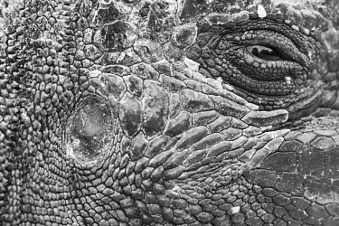 Galapagos marine iguana close up animal,archipelago,coast,endemic,evolution,iguana,island,islands,marine,native,natural,nature,ocean,pacific,shore,south,summer,wildlife,portrait,black and white,Squamata,Lizards and Snakes,Iguanidae,C