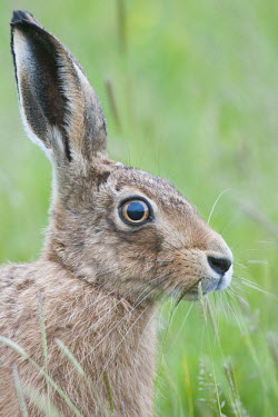 Brown hare portrait animal,britain,british,brown,european,nature,wetland,wildlife,Rabbits, Hares,Leporidae,Lagomorpha,Hares and Rabbits,Mammalia,Mammals,Chordates,Chordata,Europe,Agricultural,Animalia,Herbivorous,Lepus,e