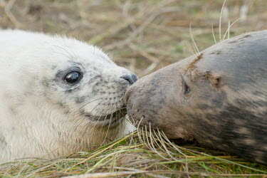 Grey seal adult and pup touching noses, Donna Nook National Nature Reserve, Lincolnshire, UK animal,beach,britain,coast,grey,mammal,sand,nature reserve,adult,young,pup,Mammalia,Mammals,Carnivores,Carnivora,Phocidae,True Seals,Chordates,Chordata,Coastal,Terrestrial,Animalia,Least Concern,Halic
