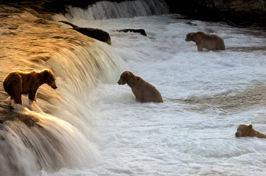 Brown bears fishing in waterfall Action,bears,behaviour,carnivores,swimming,water,fishing,freshwater,grizzly bear,hunting,mammals,predation,North America,USA,group,Carnivores,Carnivora,Bears,Ursidae,Chordates,Chordata,Mammalia,Mammal